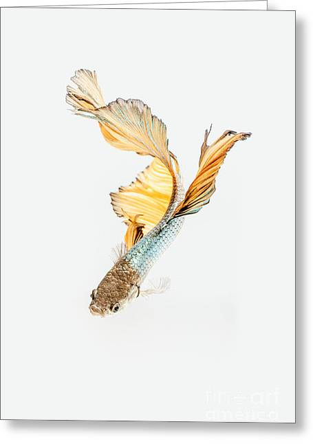 Siamese Fighting Fish Greeting Card by Han Chenxu