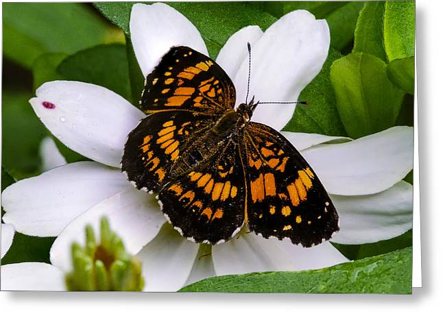 Silvery Checkerspot Butterfly On White Flower Greeting Card by Steve Samples