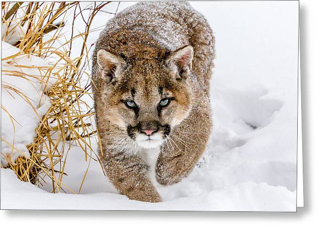 Sneaky Cougar Greeting Card by Mike Centioli