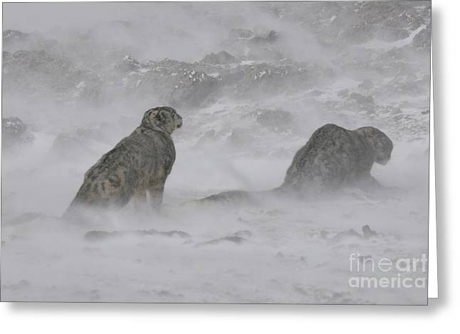 Blowing Snow Greeting Cards - Snow Leopards Greeting Card by Jean-Louis Klein & Marie-Luce Hubert
