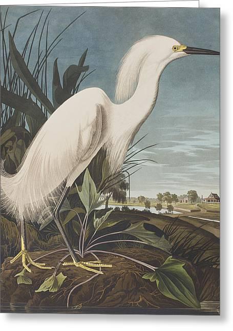 Audubon Drawings Greeting Cards - Snowy Heron  Greeting Card by John James Audubon