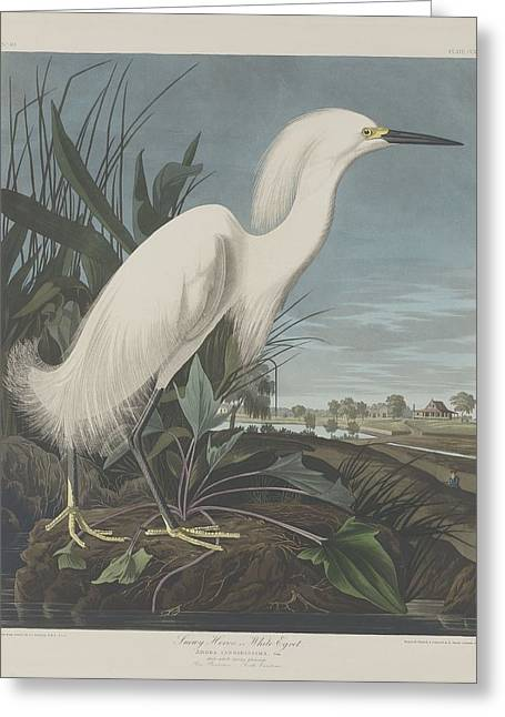 Snowy Heron Or White Egret Greeting Card by John James Audubon