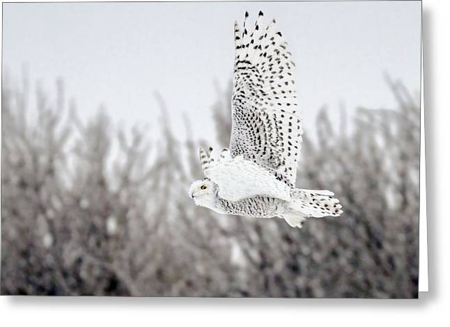 Hunting Bird Greeting Cards - Snowy Owl Greeting Card by Nick  Saunders