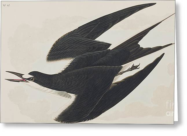 Flying Bird Drawings Greeting Cards - Sooty Tern Greeting Card by John James Audubon