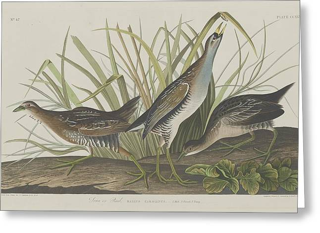Shorebird Greeting Cards - Sora or Rail Greeting Card by John James Audubon