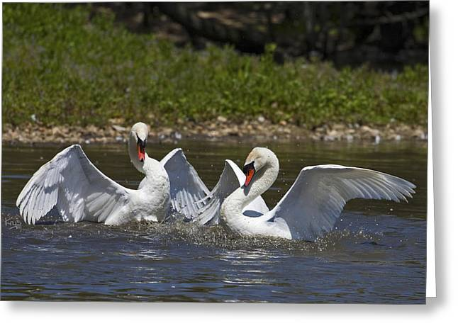 Water Fowl Greeting Cards - Sparring Partners Greeting Card by Krys Bailey