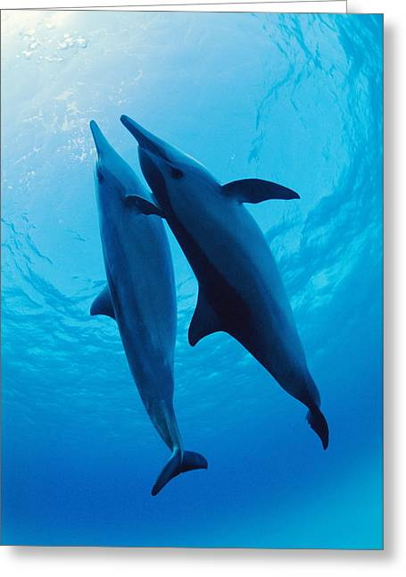 Ocean Mammals Greeting Cards - Spinner Dolphins Greeting Card by Alexis Rosenfeld