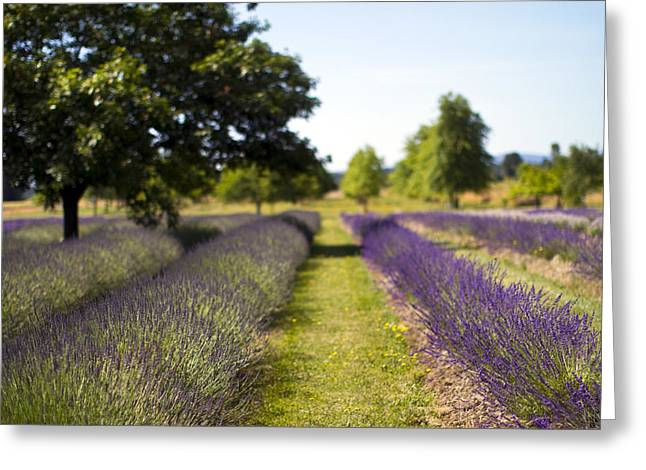 Lavender Fields Greeting Cards - Splash Greeting Card by Rebecca Cozart