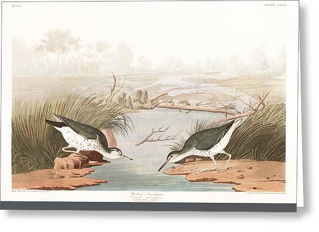 Spotted Sandpiper Greeting Card by John James Audubon