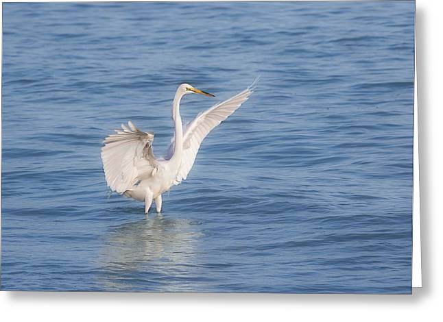 Snowy Egret Greeting Cards - Spread Your Wings Greeting Card by Kim Hojnacki