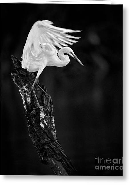 White Photographs Greeting Cards - Spread Your Wings Greeting Card by Patrick M Lynch