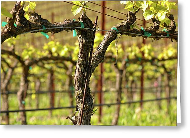 Vine Leaves Greeting Cards - Spring Vineyard in Napa California Greeting Card by Brandon Bourdages