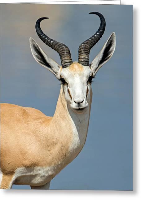 Springbok Antidorcas Marsupialis Greeting Card by Panoramic Images