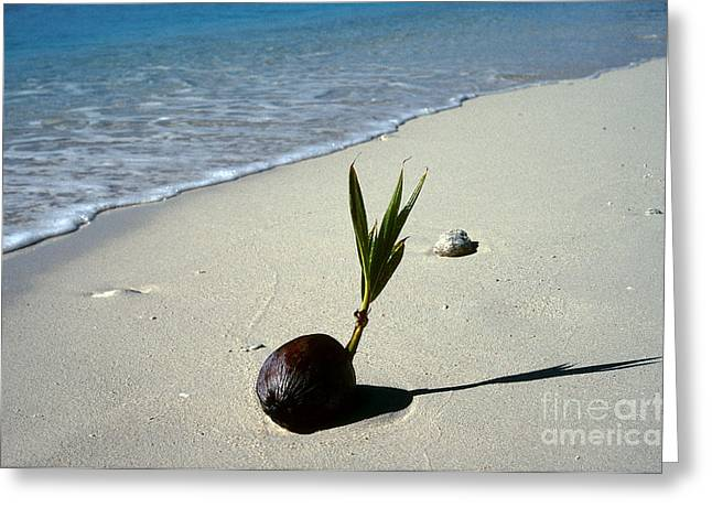 Ocean Shore Greeting Cards - Sprouting Coconut On Beach Greeting Card by John Kaprielian