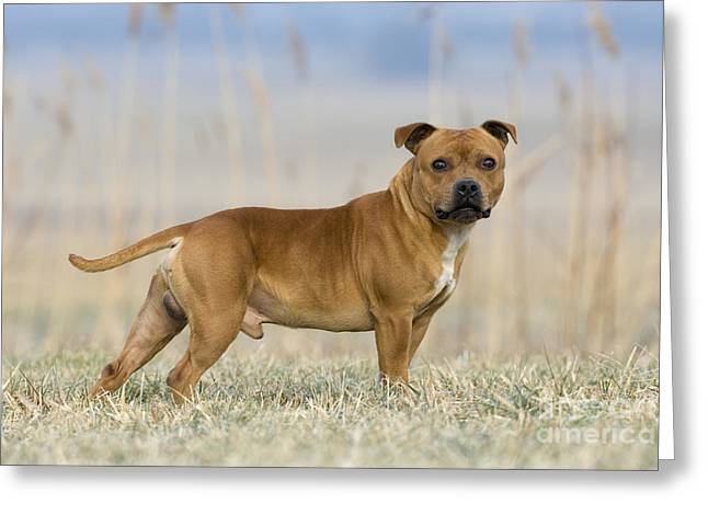 Staffordshire Bull Terrier Greeting Cards - Staffordshire Bull Terrier Greeting Card by Jean-Louis Klein & Marie-Luce Hubert