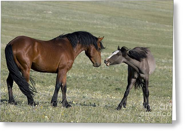 Hierarchy Greeting Cards - Stallion Approaching Filly Greeting Card by Jean-Louis Klein & Marie-Luce Hubert