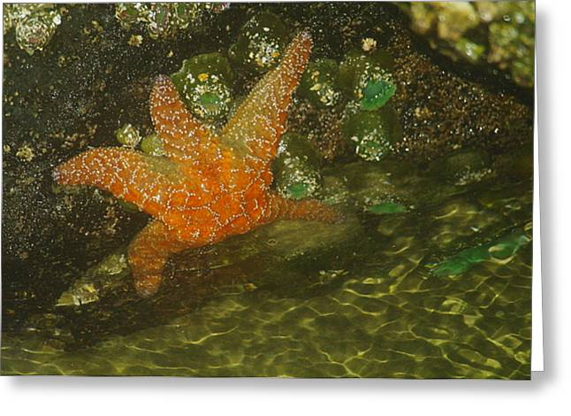 Living Things Greeting Cards - Starfish Greeting Card by Jeff  Swan