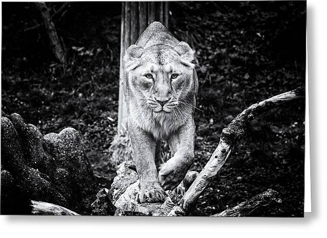 Lions Greeting Cards - Staring Right Into Your Soul - BNW Greeting Card by Liran Eisenberg