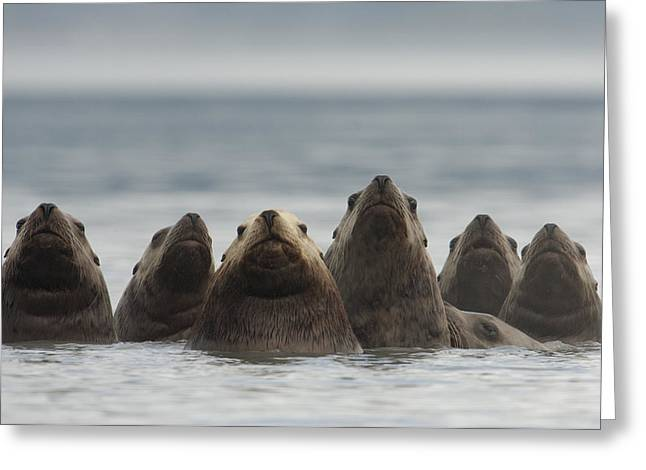 Sealions Greeting Cards - Stellers Sea Lion Eumetopias Jubatus Greeting Card by Michael Quinton