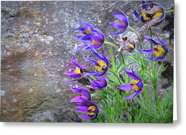 Pulsatilla Vulgaris Greeting Cards - Still Life With Pasque Greeting Card by Paul Causie