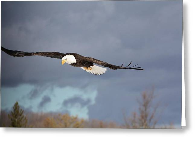 Eagles In Storms. Bald Eagles Greeting Cards - Stormy Flight Greeting Card by Teresa McGill