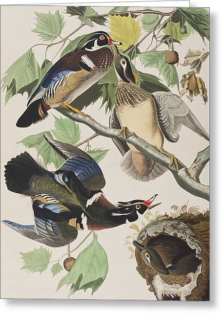 Summer Drawings Greeting Cards - Summer or Wood Duck Greeting Card by John James Audubon