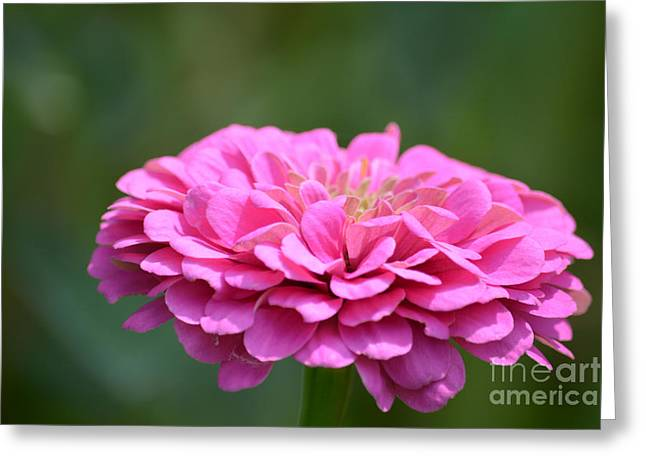 Print Photographs Greeting Cards - Summer Zinnia  Greeting Card by Ruth  Housley