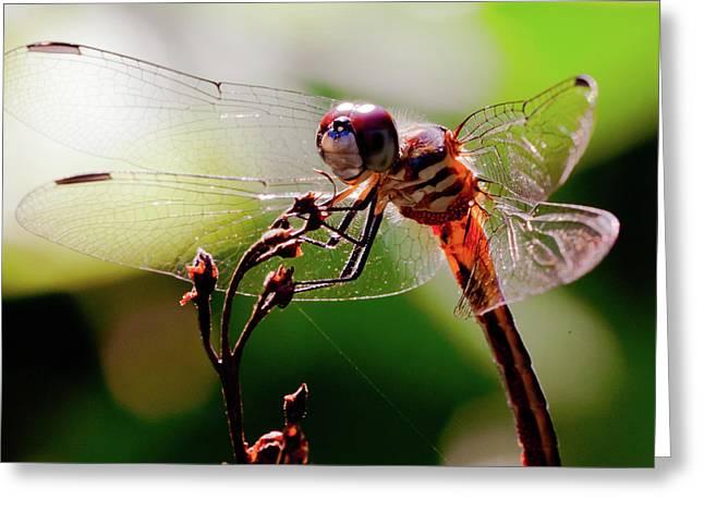Dragonfly Macro Greeting Cards - Sun Bathing Dragon Greeting Card by David Hahn