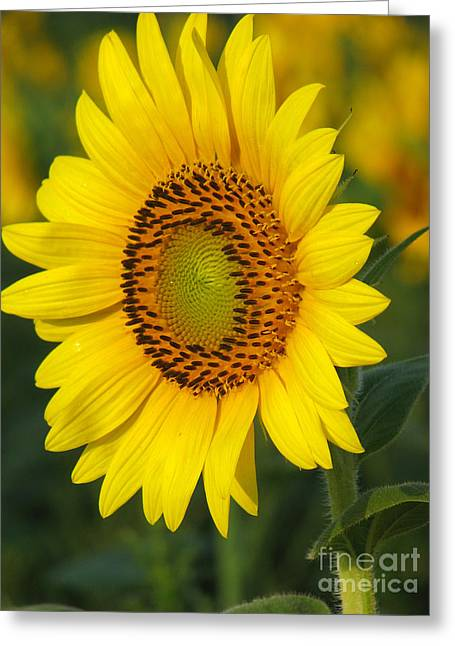 Summer Florals Greeting Cards - Sunflower Greeting Card by Amanda Barcon