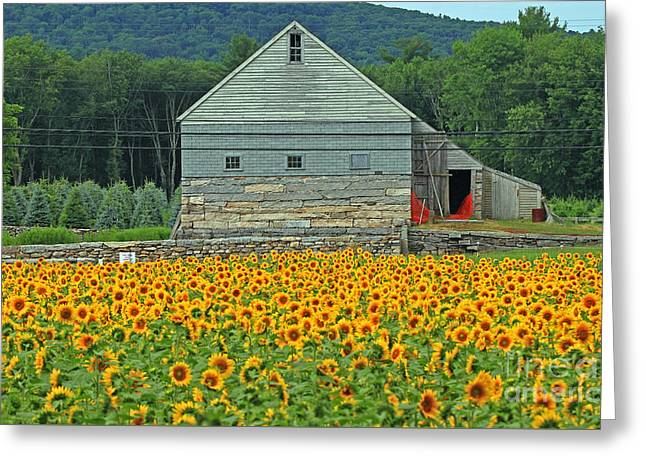 Buttonwood Farm Greeting Cards - Sunflower Field Greeting Card by Jim Beckwith