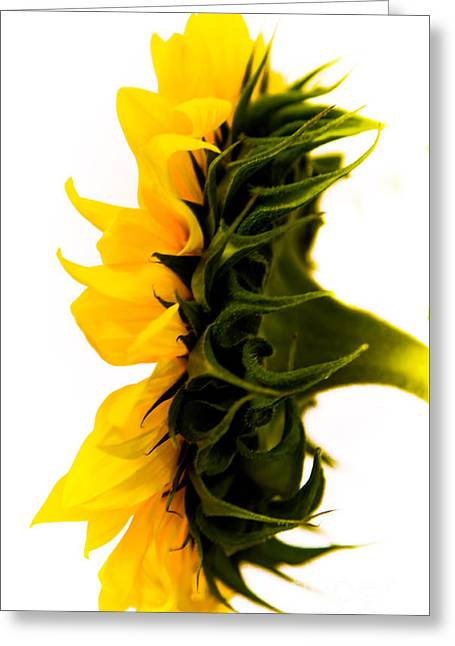Yellow Sunflower Pyrography Greeting Cards - Sunflower4 Greeting Card by Olga Photography