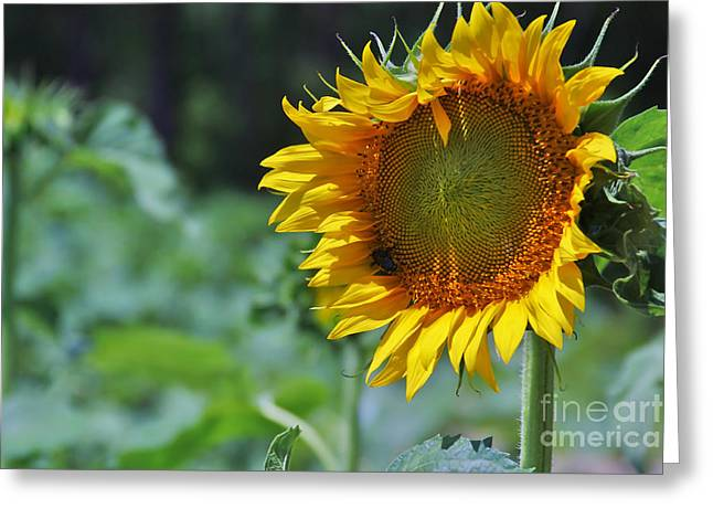Sunflower Series Greeting Card by Wendy Mogul