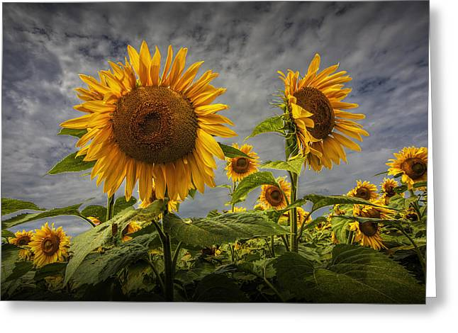 Randy Greeting Cards - Sunflowers Blooming in a Field Greeting Card by Randall Nyhof