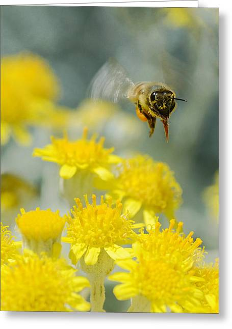 Bee In Flight Greeting Cards - Suspended Greeting Card by Fraida Gutovich