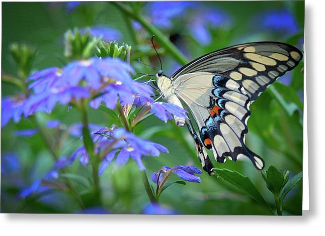 Swallow Tail Greeting Cards - Swallow Tail Greeting Card by Linda Pulvermacher