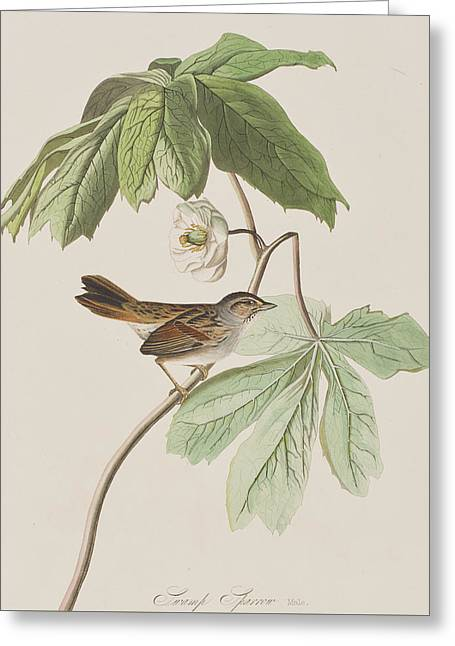 Single Drawings Greeting Cards - Swamp Sparrow Greeting Card by John James Audubon