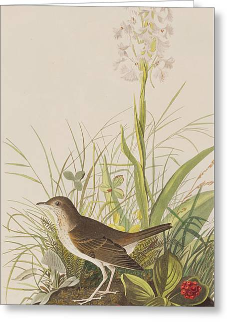 Tawny Thrush  Greeting Card by John James Audubon