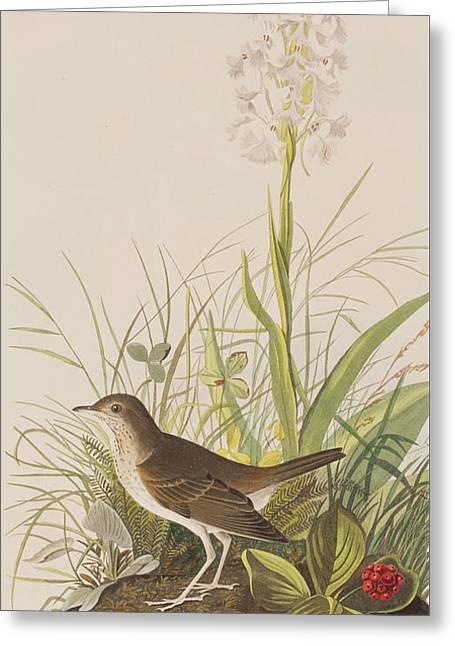 Thrush Greeting Cards - Tawny Thrush  Greeting Card by John James Audubon