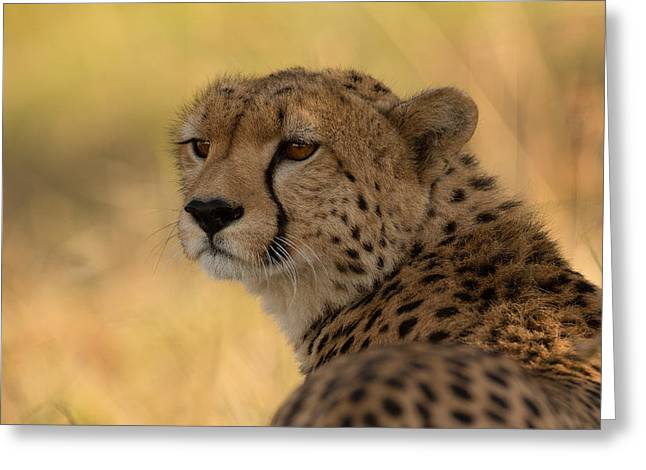 Torn Greeting Cards - Tears Of A Cheetah Greeting Card by Ashley Vincent