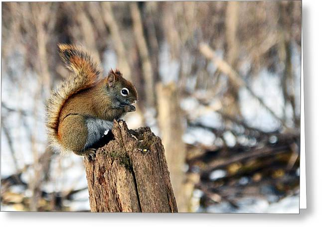 The American Red Squirrel Greeting Card by Asbed Iskedjian