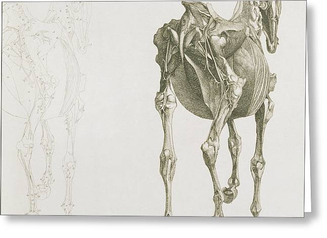 The Anatomy Of The Horse Greeting Card by George Stubbs