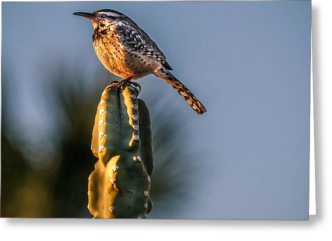 The Cactus Wren Greeting Card by Robert Bales