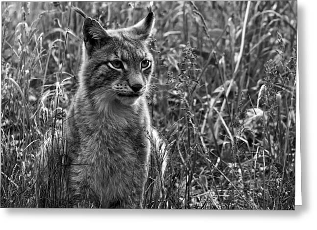 Wildcats Greeting Cards - The Elusive Lynx Greeting Card by Andreas Petzold