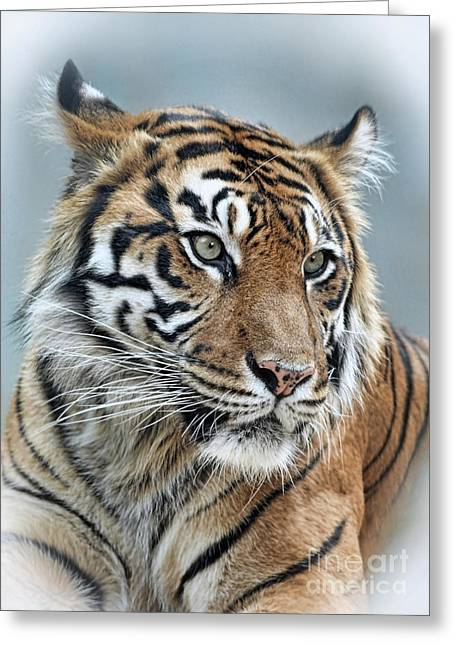Gray Hair Greeting Cards - The Gaze of a Tiger Greeting Card by Jim Fitzpatrick