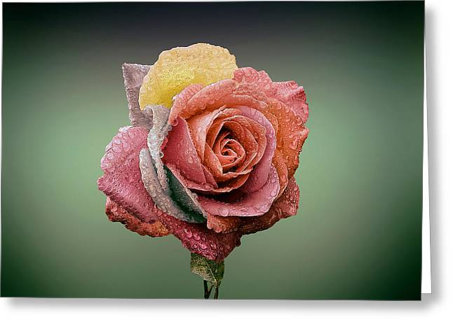 Multicolored Roses Greeting Cards - The Patriotic Rose Greeting Card by Mountain Dreams