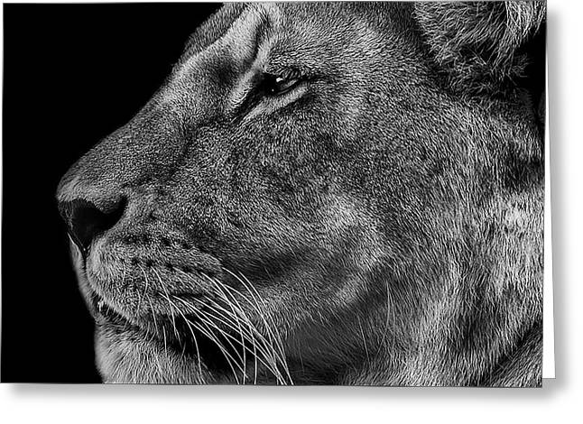 Lioness Greeting Cards - The Surveyor Greeting Card by Paul Neville