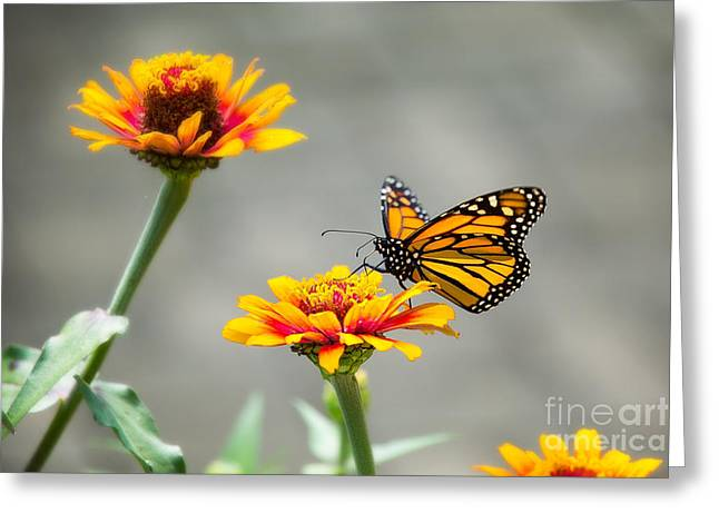 The Visiting Monarch Greeting Card by Sharon McConnell