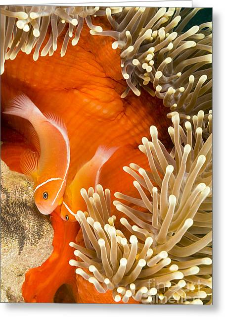 Yap Greeting Cards - This Common Anemonefish  Amphiprion Greeting Card by Dave Fleetham