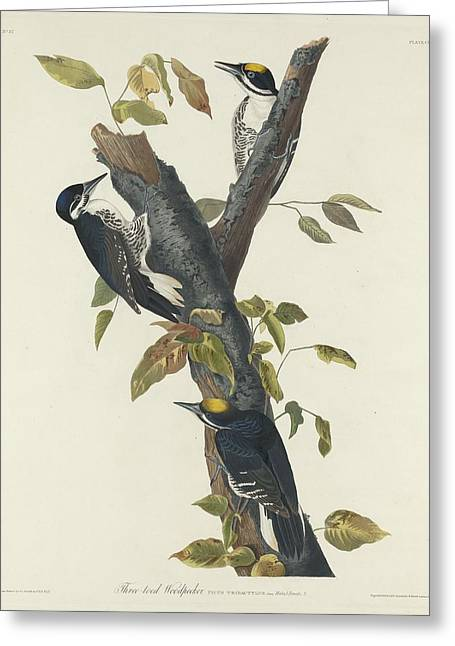 Woodpecker Greeting Cards - Three-Toed Woodpecker Greeting Card by John James Audubon