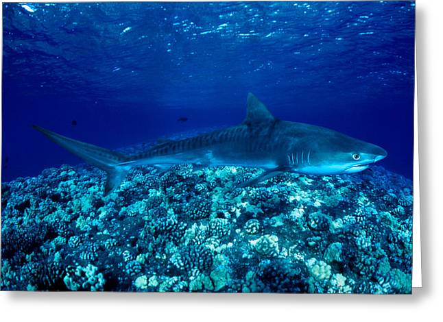 Thin Greeting Cards - Tiger Shark Greeting Card by Dave Fleetham - Printscapes